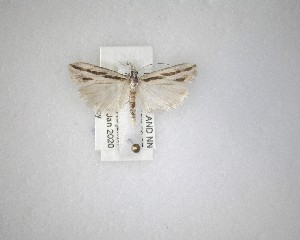 (Eudonia trivirgata - NZAC04231546)  @11 [ ] No Rights Reserved (2020) Unspecified Landcare Research, New Zealand Arthropod Collection