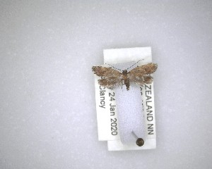 (Tingena - NZAC04231568)  @11 [ ] No Rights Reserved (2020) Unspecified Landcare Research, New Zealand Arthropod Collection