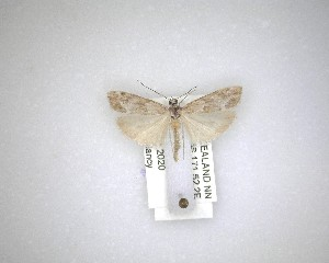 (Eudonia rakaiensis - NZAC04231594)  @11 [ ] No Rights Reserved (2020) Unspecified Landcare Research, New Zealand Arthropod Collection