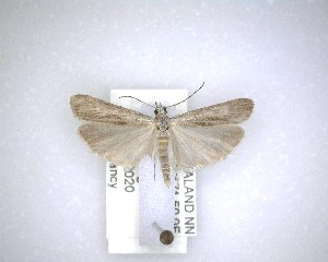 (Eudonia atmogramma - NZAC04231618)  @11 [ ] No Rights Reserved (2020) Unspecified Landcare Research, New Zealand Arthropod Collection