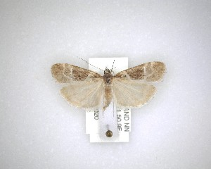 (Eudonia melanaegis - NZAC04231639)  @11 [ ] No Rights Reserved (2020) Unspecified Landcare Research, New Zealand Arthropod Collection