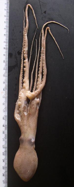 (Callistoctopus sp - AQB-CEP-KER-Cau-01)  @13 [ ] Copyright (2013) Dr. A. Bijukumar Aquaticbiology and Fisheries
