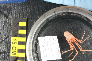 (Chirostylidae - NA097-139-01-A-BOL)  @11 [ ] CC - Attribution Non-Commercial Share-Alike (2018) Tammy Norgard Ocean Exploration Trust, Northeast Pacific Seamount Expedition Partners