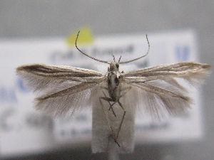 (Coleophora arkaimella - MM26276)  @11 [ ] by-nc (2019) Jukka Tabell University of Oulu