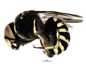 (Megachilidae - BIOUG01202-H10)  @17 [ ] CreativeCommons - Attribution Non-Commercial Share-Alike (2011) CBG Photography Group Centre for Biodiversity Genomics