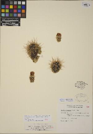(Opuntia erinacea - CCDB-24916-B11)  @11 [ ] CreativeCommons - Attribution Non-Commercial No Derivatives (2014) Linda Jennings University of British Columbia