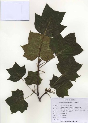 ( - PDBK2010-0895)  @11 [ ] Copyright (2010) Ki Joong Kim Korea University Herbarium (KUS)