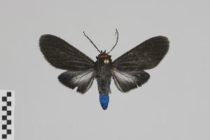 (Episcepsis nr. gnoma - Pe-Arc-0383)  @11 [ ] copyright (2016) Gunnar Brehm Phyletisches Museum Jena