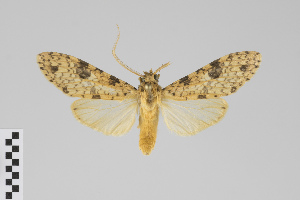 (Lophocampa distincta group - Pe-Arc-0569)  @12 [ ] copyright (2017) Gunnar Brehm Phyletisches Museum Jena