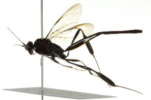 (Pelecinidae - BIOUG01499-A04)  @13 [ ] CC-0 (2012) CBG Photography Group Centre for Biodiversity Genomics