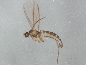 (Corynoptera cuniculata - BIOUG01479-D12)  @13 [ ] CC-0 (2012) CBG Photography Group Centre for Biodiversity Genomics