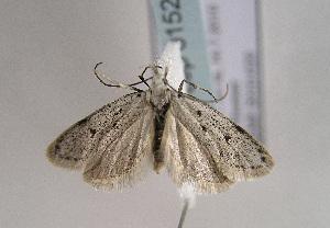 (Symmoca caliginella - TLMF Lep 01526)  @13 [ ] Copyright  TLMF 2010 Unspecified