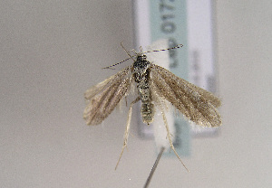(Symmoca dolomitana - TLMF Lep 01729)  @14 [ ] Copyright  TLMF 2010 Unspecified