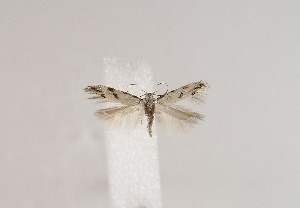 (Stenolechiodes - TLMF Lep 02809)  @12 [ ] Copyright  TLMF 2089 Unspecified