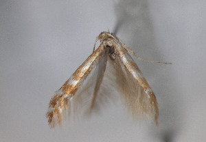 (Phyllonorycter fraxinella - TLMF Lep 04519)  @12 [ ] CreativeCommons - Attribution Non-Commercial Share-Alike (2011) Peter Huemer Tiroler Landesmuseum Ferdinandeum