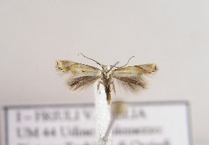 (Elachista morandinii - TLMF Lep 04546)  @12 [ ] CreativeCommons - Attribution Non-Commercial Share-Alike (2011) Peter Huemer Tiroler Landesmuseum Ferdinandeum