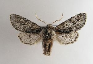 (Brachionycha nubeculosa - TLMF Lep 04683)  @15 [ ] CreativeCommons - Attribution Non-Commercial Share-Alike (2011) Peter Huemer Tiroler Landesmuseum Ferdinandeum