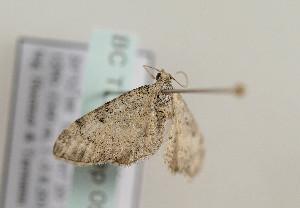 (Eupithecia fuscicostata - TLMF Lep 05412)  @12 [ ] CreativeCommons - Attribution Non-Commercial Share-Alike (2011) Peter Huemer Tiroler Landesmuseum Ferdinandeum