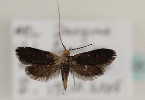 (Nemophora fasciella - TLMF Lep 05729)  @13 [ ] CreativeCommons - Attribution Non-Commercial Share-Alike (2011) Peter Huemer Tiroler Landesmuseum Ferdinandeum