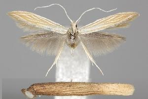 (Coleophora inulae - TLMF Lep 06501)  @15 [ ] CreativeCommons - Attribution Non-Commercial Share-Alike (2012) Peter Huemer Tiroler Landesmuseum Ferdinandeum
