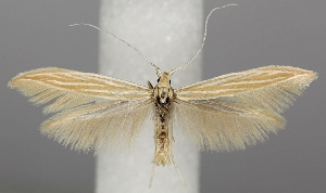 (Coleophora ramosella - TLMF Lep 06504)  @14 [ ] CreativeCommons - Attribution Non-Commercial Share-Alike (2012) Peter Huemer Tiroler Landesmuseum Ferdinandeum