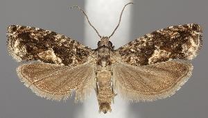 (Epinotia immundana - TLMF Lep 06555)  @15 [ ] CreativeCommons - Attribution Non-Commercial Share-Alike (2012) Peter Huemer Tiroler Landesmuseum Ferdinandeum