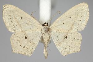 (Scopula flaccidaria - TLMF Lep 06570)  @14 [ ] CreativeCommons - Attribution Non-Commercial Share-Alike (2012) Peter Huemer Tiroler Landesmuseum Ferdinandeum