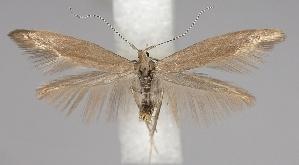 (Coleophora idaeella - TLMF Lep 06572)  @14 [ ] CreativeCommons - Attribution Non-Commercial Share-Alike (2012) Peter Huemer Tiroler Landesmuseum Ferdinandeum