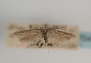 (Megacraspedus monolorellus - TLMF Lep 06704)  @13 [ ] CreativeCommons - Attribution Non-Commercial Share-Alike (2012) Peter Huemer Tiroler Landesmuseum Ferdinandeum