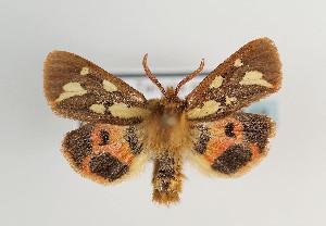 (Hyphoraia testudinaria - TLMF Lep 06818)  @14 [ ] CreativeCommons - Attribution Non-Commercial Share-Alike (2012) Peter Huemer Tiroler Landesmuseum Ferdinandeum