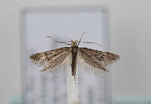 (Denisia subaquilea - TLMF Lep 08310)  @13 [ ] CreativeCommons - Attribution Non-Commercial Share-Alike (2012) Peter Huemer Tiroler Landesmuseum Ferdinandeum