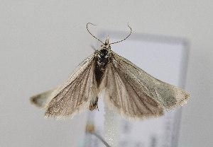 (Phtheochroa frigidana - TLMF Lep 08349)  @12 [ ] CreativeCommons - Attribution Non-Commercial Share-Alike (2012) Peter Huemer Tiroler Landesmuseum Ferdinandeum
