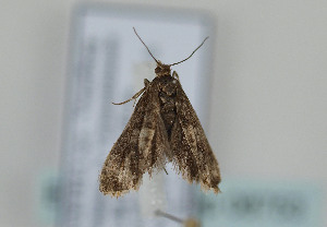 (Epinotia subuculana - TLMF Lep 08753)  @13 [ ] Unspecified (default): All Rights Reserved  Unspecified Tiroler Landesmuseum Ferdinandeum