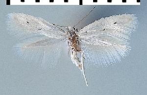 (Elachista distigmatella - TLMF Lep 07159)  @13 [ ] CreativeCommons - Attribution Non-Commercial Share-Alike (2014) Peter Huemer Tiroler Landesmuseum Ferdinandeum