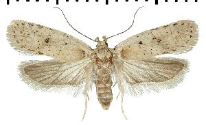 (Agonopterix hippomarathri - TLMF Lep 07188)  @14 [ ] CreativeCommons - Attribution Non-Commercial Share-Alike (2014) Peter Huemer Tiroler Landesmuseum Ferdinandeum