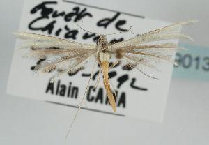 (Merrifieldia icterodactylus - TLMF Lep 09013)  @11 [ ] CreativeCommons - Attribution Non-Commercial Share-Alike (2013) Peter Huemer Tiroler Landesmuseum Ferdinandeum