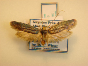 (Edosa caerulipennis - KLM Lep 00833)  @11 [ ] CreativeCommons - Attribution Non-Commercial Share-Alike (2013) Peter Huemer Landesmuseum Kärnten