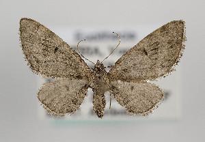 (Eupithecia exiguata - TLMF Lep 09881)  @15 [ ] CreativeCommons - Attribution Non-Commercial Share-Alike (2013) Peter Huemer Tiroler Landesmuseum Ferdinandeum