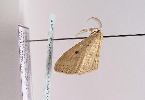 (Cyclophora azorensis - TLMF Lep 04709)  @12 [ ] CreativeCommons - Attribution Non-Commercial Share-Alike (2011) Peter Huemer Tiroler Landesmuseum Ferdinandeum