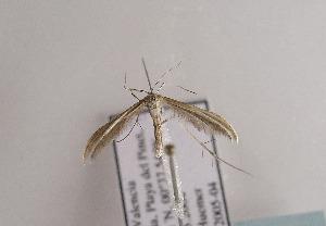 (Puerphorus olbiadactylus - TLMF Lep 03994)  @13 [ ] CreativeCommons - Attribution Non-Commercial Share-Alike (2011) Peter Huemer Tiroler Landesmuseum Ferdinandeum