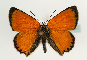 (Lycaenidae - TLMF Lep 05861)  @16 [ ] CreativeCommons - Attribution Non-Commercial Share-Alike (2011) Peter Huemer Tiroler Landesmuseum Ferdinandeum
