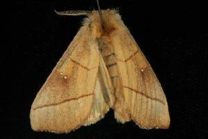 ( - Moth 421.03SA)  @14 [ ] CC-0 (2010) CBG Photography Group Centre for Biodiversity Genomics