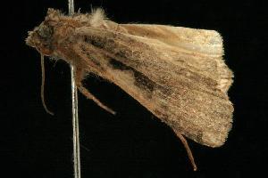 ( - Moth 438.03SA)  @14 [ ] CC-0 (2010) CBG Photography Group Centre for Biodiversity Genomics