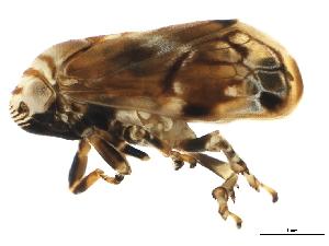 (Clastopteridae - BIOUG00943-B11)  @15 [ ] CC-0 (2011) CBG Photography Group Centre for Biodiversity Genomics