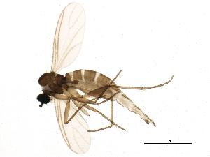 (Corynoptera bicuspidata - BIOUG01299-D04)  @15 [ ] CC-0 (2012) CBG Photography Group Centre for Biodiversity Genomics