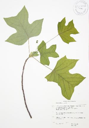 ( - JAG 0567)  @11 [ ] Copyright (2009) Steven Newmaster University of Guelph BIO Herbarium