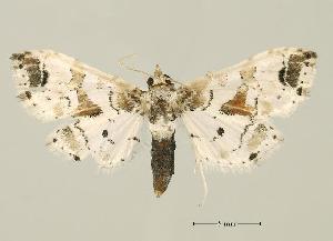 (Leucinodes africensis - USNM ENT 00196725)  @13 [ ] Unspecified (default): All Rights Reserved  Unspecified Unspecified