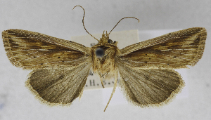 (Mythimna homoeoptera - USNM ENT 01373019)  @14 [ ] Unspecified (default): All Rights Reserved  Unspecified Unspecified