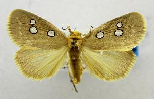 (Rhanidophora cinctigutta - USNM ENT 01067178)  @14 [ ] Unspecified (default): All Rights Reserved  Unspecified Unspecified