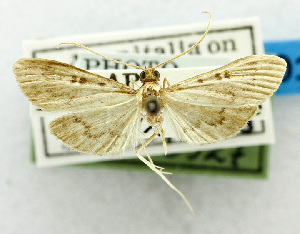 (Tatobotys picrogramma - USNM ENT 01068267)  @11 [ ] Unspecified (default): All Rights Reserved  Unspecified Unspecified